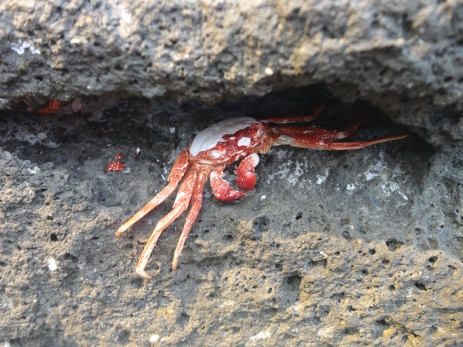 Died crab inside the rocks